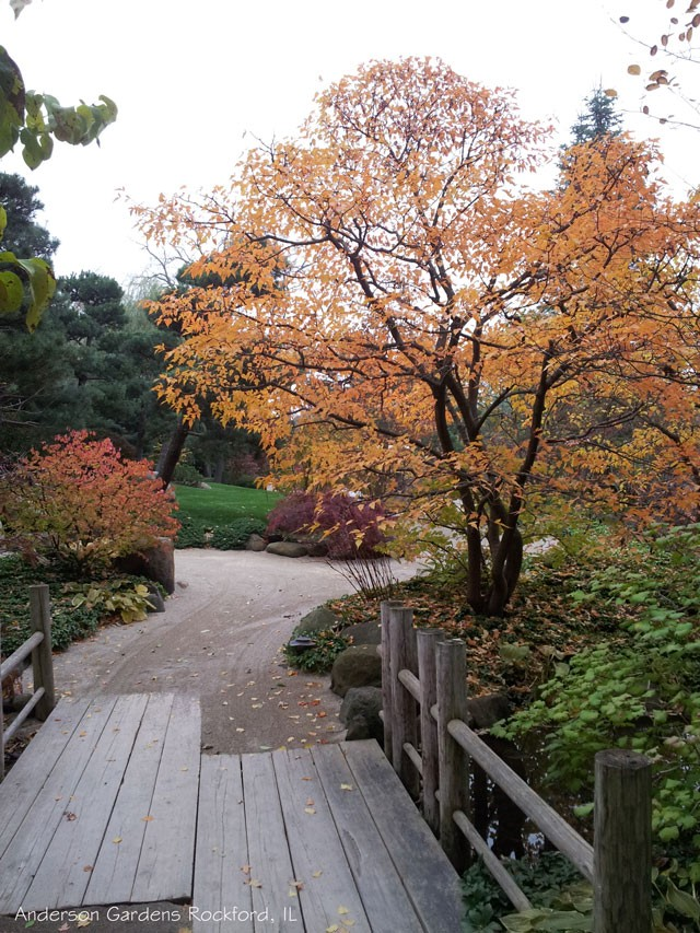 Amur-maple-in-Fall