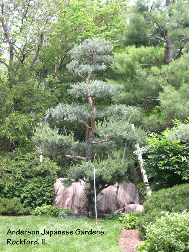 Scotch-pine-during-pruning